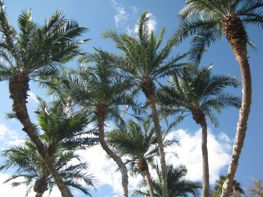 Palm Pruning in Clearwater, Clearwater Arborist, Arborist in Clearwater